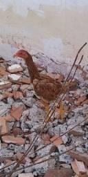 1 franga índia top e 1 galinha caipira