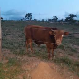 Vendo mini boi e mini vaca 7.500,00