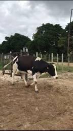 Vaca de leite $  8.000,00