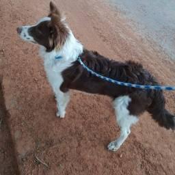 Cachorro Border Collie Macho para Cruzar