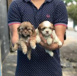 ShihTzu com garantias e suporte veterinário