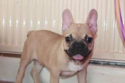 Bulldog Francês pirata/tigrado/fulvo/branco, ligue para adquirir conosco