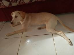 Cachorra Labrador legítimo