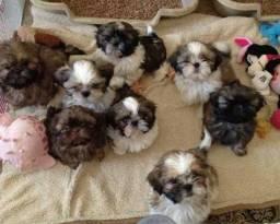 Promoção filhotes de Shih Tzu fofos e lindos !!