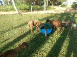 3 Ovelhas