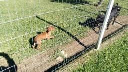 Doa-se Filhotes de Mae Rottweiler Misturado