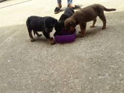 Labrador com rotwaller a venda