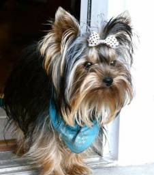 Yorkshire Terrier machinhos babyfaces