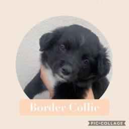 Boder Collie com pedigree e microchip em até 18x