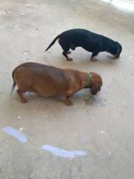 Filhotes de Dachshund(Tekel, salsicha)