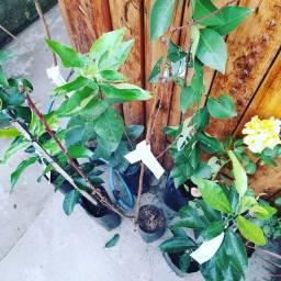 Frutífera - LER DESCRIÇÃO