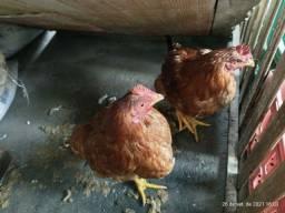 Título do anúncio: Vendo 2 galinhas e 3 frangos