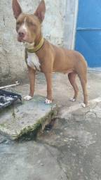 Cachorro Pit Bull rede nouse