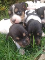 Filhotes de Terrier brasileiro