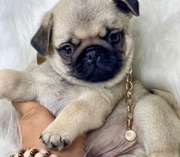 Perfeição de Pug com pedigree