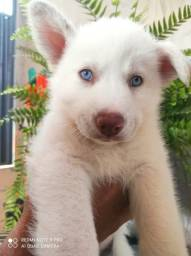 Husky Siberiano branco de olhos azuis Machinho disponível