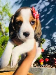 !Amor! Beagle Filhote Macho e Fêmea com Pedigree e Microchip