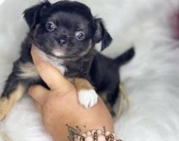 Excelente baby de Chihuahua com pedigree