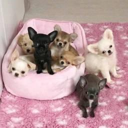 Chihuahua filhotinhos vacinados e vermifugados