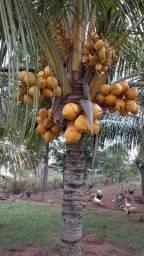 Mudas de coqueiro anão com 1 metro de altura! Tenho 4 variedades! Entrega a combinar