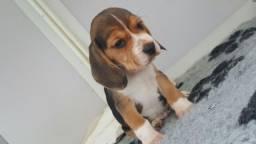 Beagle filhotes lindos com benefícios e garantias: