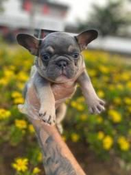 Bulldog Francês, venha fazer uma visita, estamos te esperando! 9728