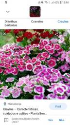 Cravina para jardim ou vaso