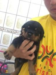 Rottweilers 500R$