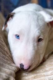 Bull Terrier - Filhotes disponível
