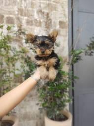 Lindos Filhotes de Yorkshire Terrier. Venha conhecer nossa loja!