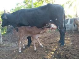 Vende se vaca 2 cria