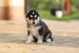 Husky Siberiano temos lindos filhotes com ótimos padrões!