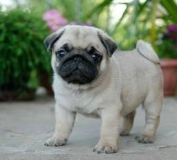 Lindas fêmea de Pug