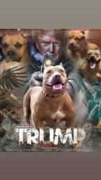 Vende- se Pitbull com pedigree