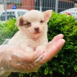 Título do anúncio: Chihuahua- Lindos e Saudaveis!!
