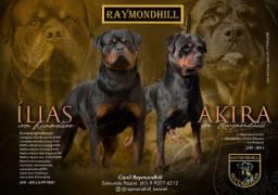 Título do anúncio: Rottweiler filhotes. O melhor cão de guarda, defesa, companhia!