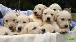 Labrador com pedigree garantia de saúde