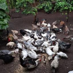 Lote de patos e galinhas