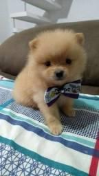 Belo lulu macho lindo com pedigree