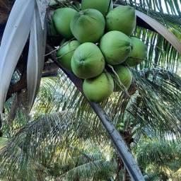 Coco verde da Bahia