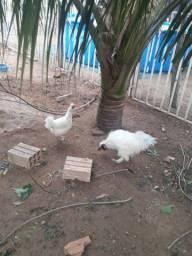 Título do anúncio: Casal de galinha cedosa do Japão 100 os 2