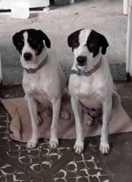 Doação de dois cachorrinhos vira-latas