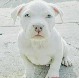 Pitbull filhote
