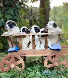 São Bernardo, filhotes lindos e suporte veterinário.