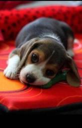 Beagle Fêmea e machinho ja vacinado e vermifugado