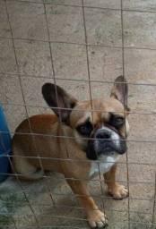 Vendo cadela buldogue francês 1 ano e 2 meses