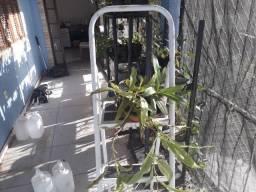 Estaquias enraizadas de Nepenthes hibridas planta carnívora