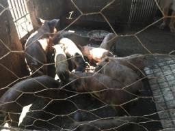 Vende - se porcos