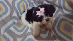 Shitzu mini pai com pedigree