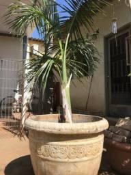 Muda grande palmeira